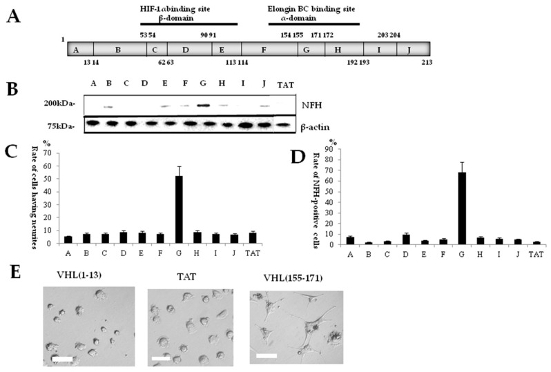"""( A ) Ten divided sequences of von Hippel-Lindau tumor suppressor protein (pVHL) and the relation to the st ructure of pVHL. The elongin BC binding site exists in α-domain; and the HIF-1α binding site, in β-domain; ( B ) Immunoblotting study with anti-Neurofilament-H (anti-NFH) antibody. The most potent expression of NFH was obtained with sequence G [VHL(155–171)]; ( C ) Immunocytochemical study with anti-NFH antibody. The greatest rate of immunoreactive cells for NFH was found at the """"G"""" sequence (VHL(155–171)); ( D ) Rates of cells having neurites for the 10 divided sequences. The """"G"""" sequence (VHL(155–171)) shows the greatest rate of cells having neurites. Phase-contrast microphotographs showed cells for """"G"""" sequence (VHL(155–171)) and cells for """"A"""" sequence [VHL(1–13)]; ( E ) The cells for """"A"""" sequence (VHL(1–13)) and the cells for TAT showed no morphological change, as with non-treated cells ( left ), whereas the cells for """"G"""" sequence [VHL(155–171)] assumed a neuron-like morphology ( right ). Scale bar = 20 μm."""