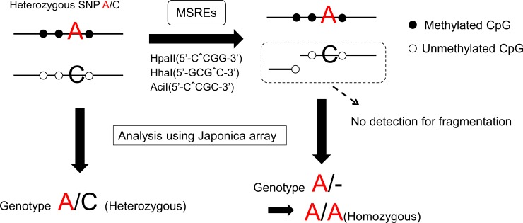 Schema of methylation-sensitive SNP array. If allele-specific DNA methylation (ASM) around heterozygous SNP A/C exists (which is hypermethylated around A allele and hypomethylated around C allele), SNP is called A/C in micro array before digestion and A/A after digestion by MSREs. Thus, the probes heterozygous in uncut genomic DNA and homozygous in MSREs-digested DNA indicate ASM around SNP. Because we expect methylation skew between two alleles, all heterozygous SNPs which the ratio of signal intensities given two alleles changed after digestion should be extracted. SNP, single-nucleotide polymorphisms; MSREs, methylation-sensitive restriction enzymes, which contain HpaII ( 5′-CˆCGG-3′ ), HhaI ( 5′-GCGˆC-3′ ), and AciI ( 5′-CˆCGC-3′ ).