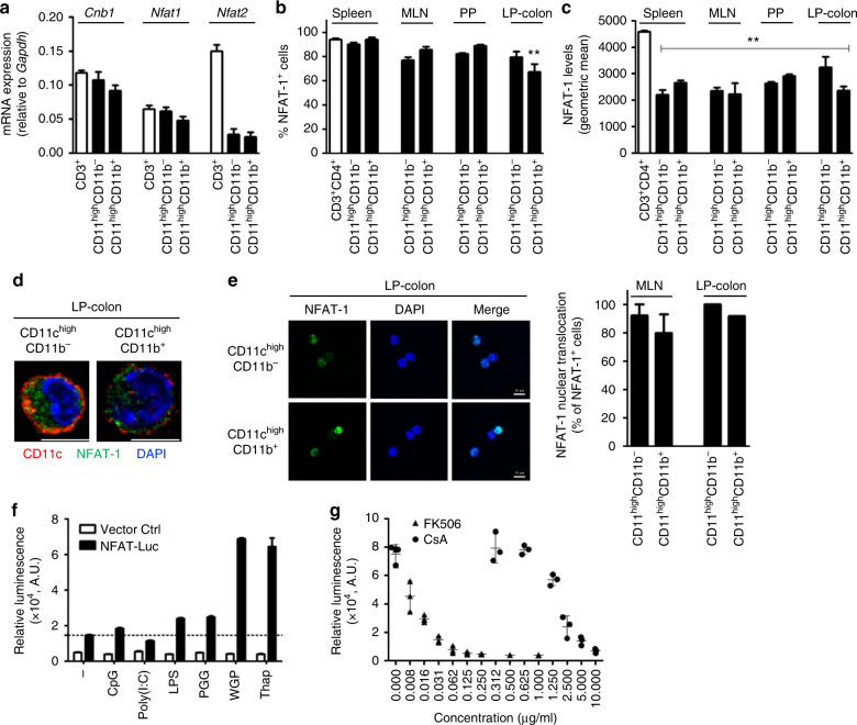 Calcineurin B and NFAT expression in mouse intestinal myeloid cells. a Relative expression levels of Cnb1 , Nfat1 , and Nfat2 mRNAs in intestinal CD11c high MHCII + cells (CD11b + and CD11b − ) and MLN CD3 + T cells, assessed by qRT-PCR. Data represent the means ± standard error of three experiments ( n ≥ 7 mice/exp). b , c Percentage of NFAT-1 + cells ( b ) and NFAT-1 protein levels ( c ) in CD11c high MHCII + cells (CD11b + and CD11b − ) obtained from spleen, MLN, PP, and colonic LP (LP-colon), assessed by flow cytometry. Splenic CD3 + CD4 + T cells are included for comparison. Data represent the means ± standard error of three experiments ( n = 4–5 mice/experiment). ** P