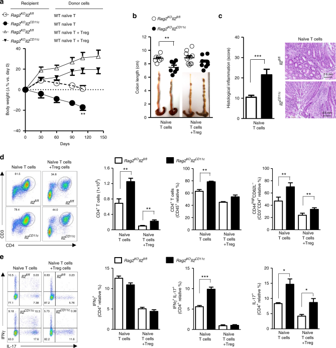 DC-derived IL-2 suppresses pathogenic CD4 + T-cell expansion in the intestine. a Change in body weight and b severity of colitis based on colon length of Il2 CD11c and Il2 fl / fl , Rag2 knockout (KO) mice ( Rag2 KO IL - 2 fl / fl and Rag2 KO IL - 2 CD11c mice) adoptively transferred with naïve CD4 + T cells either alone or in combination with Treg cells isolated from spleens of C57BL/6 mice. Representative pictures of colons after adoptive T-cell transfer are shown. Data represent the means ± standard error of two experiments ( n = 2–5 mice/group per experiment). ** P
