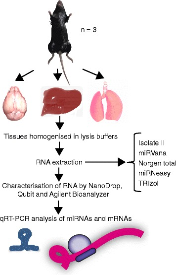 Experimental design for comparing RNA isolation methods from mouse tissues. Brain, lung and liver tissues were dissected from C57BL/6 mice ( n = 3) and rapidly frozen. Tissues were homogenised and RNA extracted using five different methods and assessed for yield, purity, integrity and miRNA abundance. miRNA and target gene expression was then quantitated with qRT-PCR