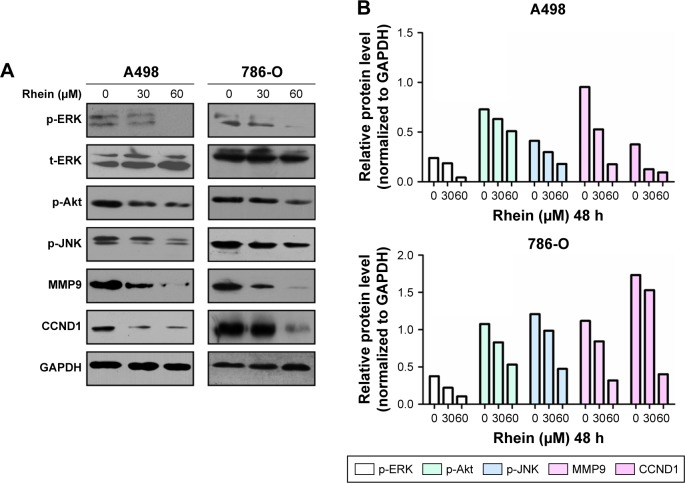The key signaling pathways regulating proliferation and metastasis are suppressed during Rhein treatment. Notes: ( A ) 30 or 60 μM Rhein inhibited the expression of p-ERK, p-Akt, MMP9 and CCND1 in A498 and 786-O cells at 48 h. ( B ) The quantitative results of the key molecules changing showed in ( A ) by ImageJ software. Abbreviations: GAPDH, glyceraldehyde 3-phosphate dehydrogenase; MMP9, matrix metalloproteinase 9; p-JNK, phospho-c-Jun N-terminal kinase; p-ERK, phospho-extracellular signal-regulated kinase.
