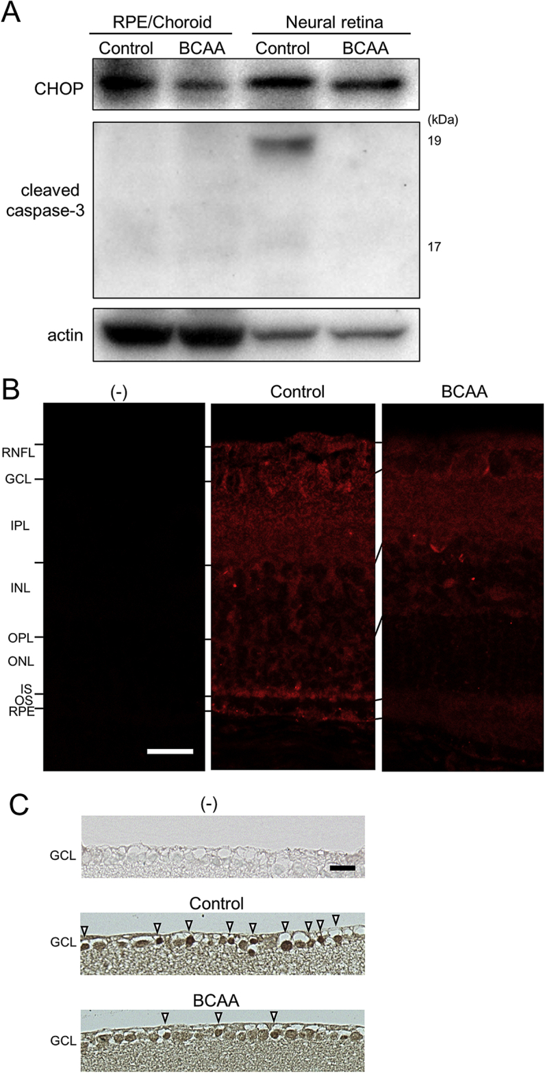 Suppression of ER stress by BCAAs leads to suppression of cleaved caspase-3 in mouse models. (A) Western blot analysis of 19-month-old rd12 mice treated with BCAAs, or water as a control. Extracts from dissected neural retinas and the combination of retinal pigment epithelium (RPE), choroid, and sclera (RPE/choroid) were analyzed with an anti-CHOP or cleaved caspase-3 antibody. Complete scans of western blots are shown in Fig. S4E. (B) Vertical retinal sections of 21-day-old rd10 mice stained with or without an anti-CHOP antibody (red). Abbreviations: RNFL, retinal nerve fiber layer; GCL, Ganglion cell layer; IPL, Inner plexiform layer; INL, Inner nuclear layer; OPL, Outer plexiform layer; ONL, Outer nuclear layer; IS, inner segment of the photoreceptor cell; OS, outer segment of the photoreceptor cell; and RPE, Retinal pigment epithelium. (C) Vertical retinal sections of 18-month-old GLAST (+/−) mice stained with or without an anti-CHOP antibody. Note that more cells remained in the GCL of BCAA-treated mouse than in that of control mouse. Note also that more cells were strongly stained by the CHOP antibody (arrowheads) in control mouse than in BCAA-treated mouse. Scale bars: 20 μm in B and C.