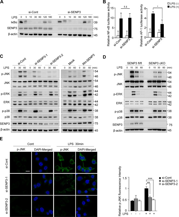 SENP3 deficiency selectively attenuates MAPK signaling and JNK phosphorylation in macrophages. A, RAW 264.7 cells transfected with si-Cont or si-SENP3 were stimulated with LPS (100 ng/ml) for the indicated time. <t>IκBα</t> degradation was assessed by IB. B, NF-κB-luciferase ( left panel ) or AP-1-luciferase ( right panel ) and Renilla were transfected into RAW 264.7 cells together with the indicated siRNA. 48 h after transfection, cells were stimulated with LPS (100 ng/ml) for 6 h followed by luciferase reporter assays. Graphs show the mean ± S.D. and data shown are representative of three independent experiments. ns, no statistical difference; *, p