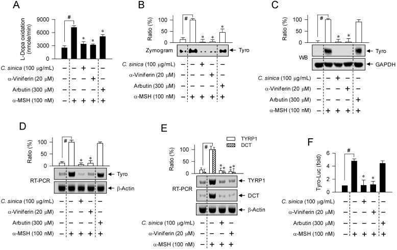 Effect of C. sinica or α-viniferin on expression of Tyro gene. B16-F0 cells were pretreated with C. sinica or α-viniferin for 2 h and stimulated with α-MSH for 48 h (A-C) or 20 h (D, E) in the presence of C. sinica or α-viniferin. Cell lysates were prepared with phosphate buffer, and cell extracts with RIPA buffer. (A) Cell lysates were reacted with 1 mM L-dopa, and the velocity of increasing absorbance values at 475 nm was immediately measured. Tyro activity is represented as the initial velocity of L-dopa oxidation (nmol/min). (B) Cell lysates were resolved on non-denaturing acrylamide gels (without 2-mercaptoethanol) by electrophoresis, and subjected to zymography with soaking of the gels in 1 mM L-dopa. (C) Cell extracts were resolved on SDS-acrylamide gels by electrophoresis, and subjected to Western blot (WB) analysis with anti-Tyro or anti-GAPDH antibody. (D, E) Total RNAs were subjected to RT-PCR analysis of Tyro, TYRP1 or DCT with β-actin as an internal control, and resolved on agarose gels by electrophoresis. (F) B16-F0 cells were transfected with Tyro (-2236/+59)-Luc reporter construct in combination with Renilla control vector. The transfected cells were pretreated with C. sinica or α-viniferin for 2 h and stimulated with α-MSH for 18 h in the presence of C. sinica or α-viniferin. Firefly luciferase activity, a reporter of the promoter activity of Tyro gene, is represented as a relative fold after normalizing to Renilla activity, a reference of transfection efficiency. Data are mean ± SEM. # p