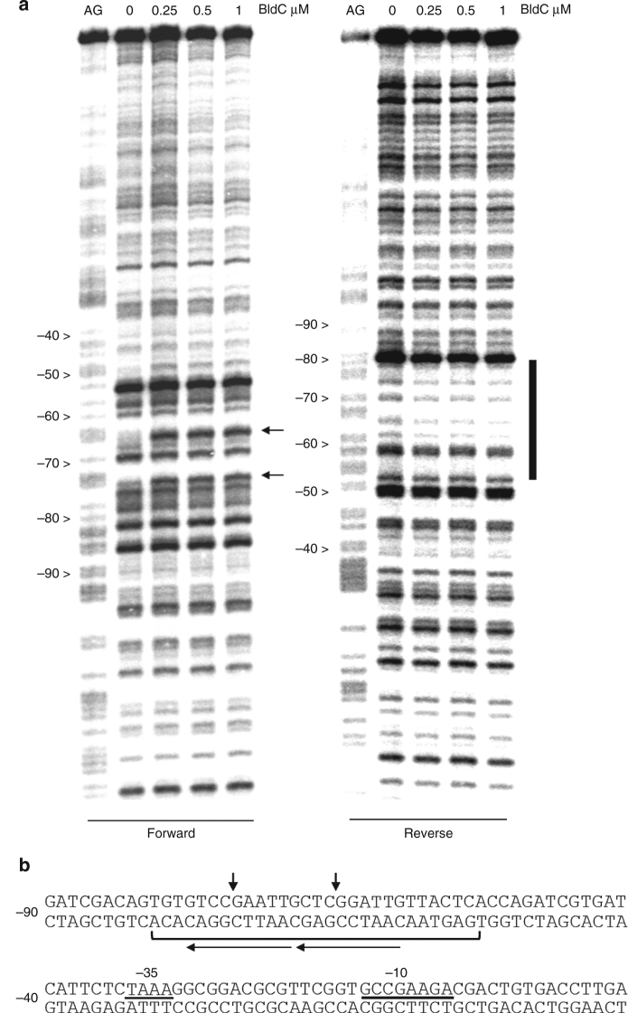 BldC binding to the whiI promoter region. a DNase I footprinting analysis. 5′ end-labeled probes were incubated with increasing amounts of BldC (indicated in µM above the lanes) and subjected to DNase I footprinting analysis as described in Methods. Footprints are flanked on the left-hand side by Maxam and Gilbert sequence ladders (AG). Horizontal black arrows indicate sites of enhanced DNase I cleavage on the forward strand and the vertical bar indicates the region of DNase I protection on the reverse strand. b Summary of DNase I footprinting results presented in a . The bracket indicates the protected region and the vertical black arrows indicate sites of enhanced DNase I cleavage. The numbers indicate the distance to the 5′ end of the whiI transcript. The direct repeats shown to be bound by BldC in a head-tail orientation are indicated by arrows (with arrows pointing in the head-tail direction)