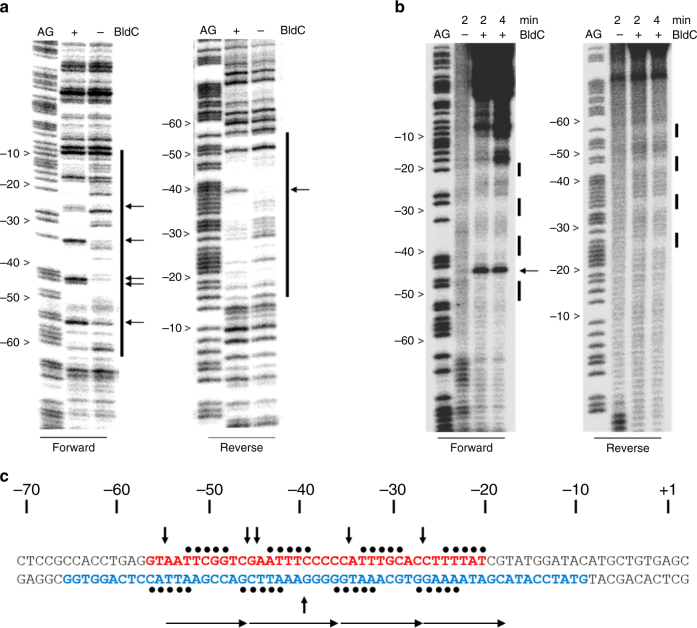 BldC binding to the smeA-ssfA promoter region. a DNase I and b hydroxyl radical footprinting analysis. 5′ end-labeled probes were incubated in the presence (1 µM) or absence of BldC and subjected to footprinting analysis as described in Methods. Footprints are flanked on the left-hand side by Maxam and Gilbert sequence ladders (AG). Horizontal black arrows indicate sites of enhanced cleavage and vertical bars indicate regions of DNase I protection. c Summary of the footprinting results presented in a and b . The filled black circles indicate the repeat pattern of bases protected from hydroxyl radical attack. The bases colored red and blue indicate the DNase I-protected sequences on the forward and reverse strands, respectively, and the vertical black arrows indicate the repeat pattern of DNase I hypersensitive sites seen on the top strand in the presence of BldC. The numbers indicate the distance to the 5′ end of the smeA transcript. Direct repeat motifs are indicated by head-to-tail arrows