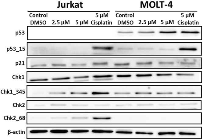Western blot analysis of proteins that regulate cell cycle progression or cell death in Jurkat and MOLT-4 cells after scoulerine treatment for 24 h. Control cells were mock treated with 0.1% DMSO (DMSO). Cells treated with cisplatin at 5 µM were used for positive control in Western blot analysis. These experiments were performed at least three times with similar results and a cropped blot is shown from one representative experiment.