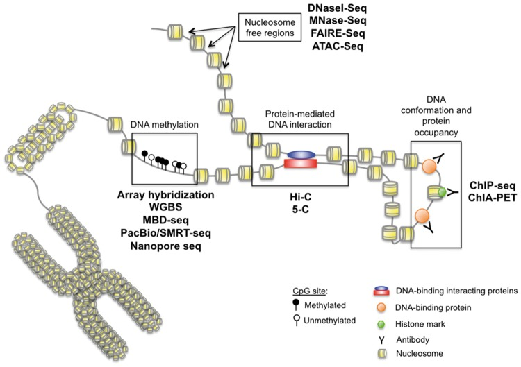 Epigenetics measurement techniques. A wide variety of methods characterize epigenetic alterations. Currently, the most common genome-wide approaches identify nucleosome-free regions (DNaseI-Seq; MNase-Seq; FAIRE-Seq; ATAC-Seq), protein-mediated <t>DNA</t> interaction sites (Hi-C; 5-C), histone marks and DNA-binding proteins (ChIP-Seq; ChIA-PET) and DNA methylation (array hybridization, WGBS, MBD-Seq, <t>PacBio,</t> nanopore). (A colour version of this figure is available online at: https://academic.oup.com/bfg )