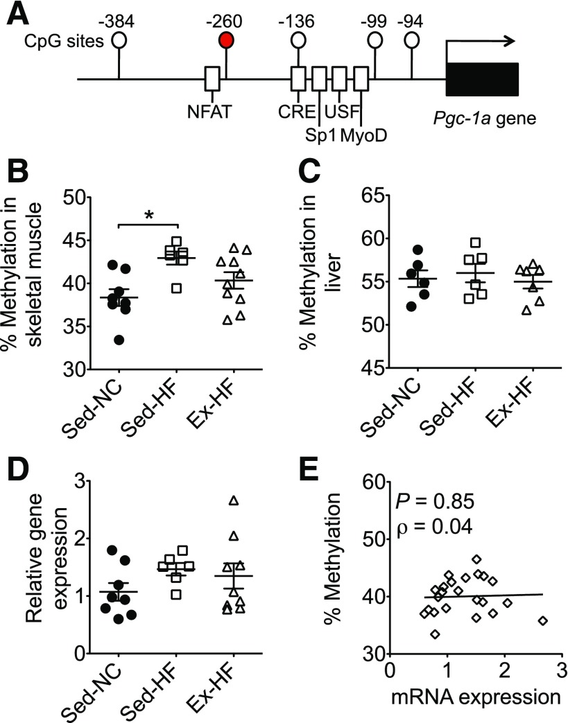 Maternal exercise prevents maternal HFD-induced hypermethylation of the Pgc-1α promoter in skeletal muscle in offspring. Pgc-1α promoter methylation and mRNA expression were assessed by pyrosequencing and real-time PCR, respectively, in offspring skeletal muscle and liver at birth. A : Schematic presentation of the structural feature of the Pgc-1α promoter. Circles represent CpG islands, labeled by the base pair number relative to the transcription start site, with site −260 highlighted in red. Open rectangles represent transcription factor binding sites. The arrow marks the transcription start site. Graphs show Pgc-1α promoter methylation at CpG site −260 in muscle ( B ) and liver ( C ). Graphs also show Pgc-1α mRNA in offspring skeletal muscle ( D ) and its correlation with Pgc-1α methylation status ( E ). * P