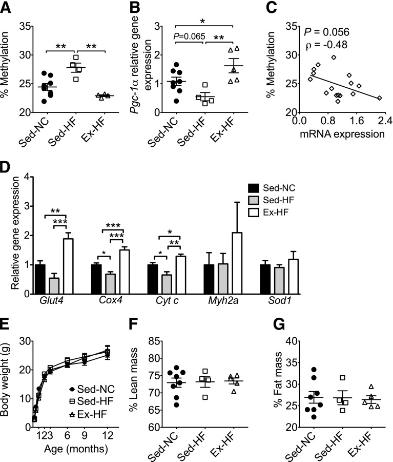 Maternal HFD‐induced Pgc-1α hypermethylation is maintained with reduced gene expression and abnormal metabolic function in aging mice. Pgc-1α promoter methylation and mRNA expression were assessed by pyrosequencing and real-time PCR, respectively, in offspring skeletal muscle at 12 months of age. Graphs show Pgc-1α promoter methylation at CpG site −260 ( A ), Pgc-1α mRNA expression ( B ), correlation between Pgc-1α methylation and gene expression ( C ), and mRNA expression of Glut4 , Cox4 , Cyt c , Myh2a , and Sod1 ( D ) in skeletal muscle at 12 months of age. Body weight and composition are presented as a growth profile from birth to 12 months ( E ); percentages of lean body mass ( F ) and fat mass ( G ) as measured by dual-energy X-ray absorptiometry at 12 months of age in female offspring are also shown. * P
