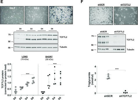 A : Representative images of differentiating 3T3-L1 adipocytes at the time of induction, day 0 (D0), and at D4 and D10 after initiation of adipogenesis (scale bar = 100 µm). B and C : A representative Western blot of TCF7L2 during adipogenesis, examined using an antibody that recognizes an epitope around Leu331 and all variants of TCF7L2. The expression of the short (58 kDa) TCF7L2 protein isoform was higher than the long (78 kDa) isoform during adipogenesis. Total protein load, assessed by Ponceau-S staining, was used for normalization ( n = 5 independent experiments). *** P