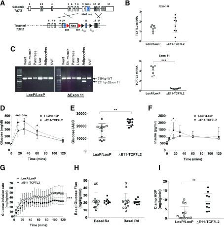 A : Schematic shows the targeting strategy for the mouse Tcf7l2 locus used in this study. (Reprinted with permission from van Es et al. [ 19 ]) B : LoxP sites were placed around exon 11, which results in the deletion of exon 11, and not exon 6, containing mRNA transcripts, as determined by quantitative real-time PCR on isolated adipocytes ( n = 7). *** P