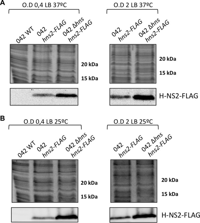 H-NS2 is upregulated in an hns mutant derivative of the strain E. coli 042. Immunodetection of H-NS2-FLAG in cultures of the wild-type (WT) E. coli 042 strain and its derivatives containing a FLAG tag in the hns2 gene and an hns derivative containing a FLAG tag in the hns2 gene. The top panels show Coomassie blue-stained cell extracts used for the immunodetection of H-NS2-FLAG. Similar protein concentrations are apparent. The bottom panels show immunodetected H-NS2-FLAG. The optical density at 600 nm (O.D) values are shown above the brackets.