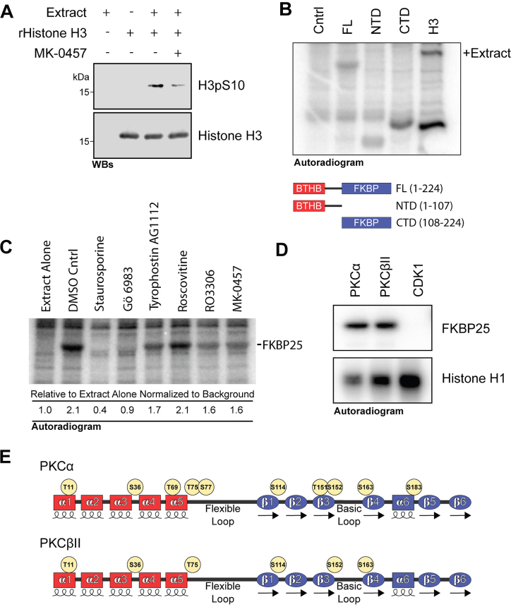 FKBP25 is phosphorylated by PKC. ( A – D ) In vitro kinase assays. (A) Western blot analysis of recombinant histone H3 alone, incubated with mitotic extract, or incubated with mitotic extract and the Aurora kinase inhibitor MK-0457 (50 μM) in kinase buffer. (B) Purified full-length proteins were incubated with mitotic extract in the presence of γ[ 32 P]-ATP, resolved by SDS-PAGE and visualized by autoradiography. For the Cntrl lane, no recombinant protein included in the reaction. Histone H3 included as a positive control. (C) Identification of putative mitotic kinase by in vitro kinase assay in the presence of mitotic kinase inhibitors. Assays performed as in B with the inclusion of the kinase inhibitors staurosporine (broad range), Gö 6983 (PKC), Tyrphostin AG1112 (CKII), Roscovitine (CDKs), RO3306 (CDK1) and MK-0457(Aurora). (D) In vitro kinase assay with recombinant canonical PKC kinases and CDK1. Recombinant FKBP25 incubated with purified PKCα (12.5 ng), PKCβII (12.5 ng) or CDK1-cyclinB1 (20 ng). ( E ) Schematic representation of mass spectrometry identified phosphoresidues on recombinant FKBP25 in vitro phosphorylated with either PKCα or PKCβII.