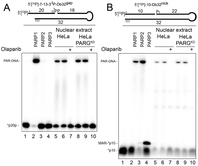 Formation of <t>PAR–DNA</t> adducts in nuclear extracts from HeLa cells. Twenty nanomolar 5′-[ 32 P]labeled 7–13-3′ t P-Db32 gap ( A ) or 10-Db32 nick ( B ) <t>Dbait</t> molecules were incubated with the indicated amount of HeLa extracts, 200 nM olaparib, 180 nM PARP1 and 40 nM PARP2 or 50 nM PARP3 under standard reaction conditions for a PARP-dependent DNA ADP-ribosylation assay. Incubation periods were 10 min for extracts, 30 min for PARP1 and PARP2, and 2 min for PARP3. Lanes 6 and 9 show repeats of the experiments in lanes 5 and 8, respectively. The reaction products were analyzed by denaturing PAGE. For details, see 'Materials and Methods' section and Supplementary Figure S12 .