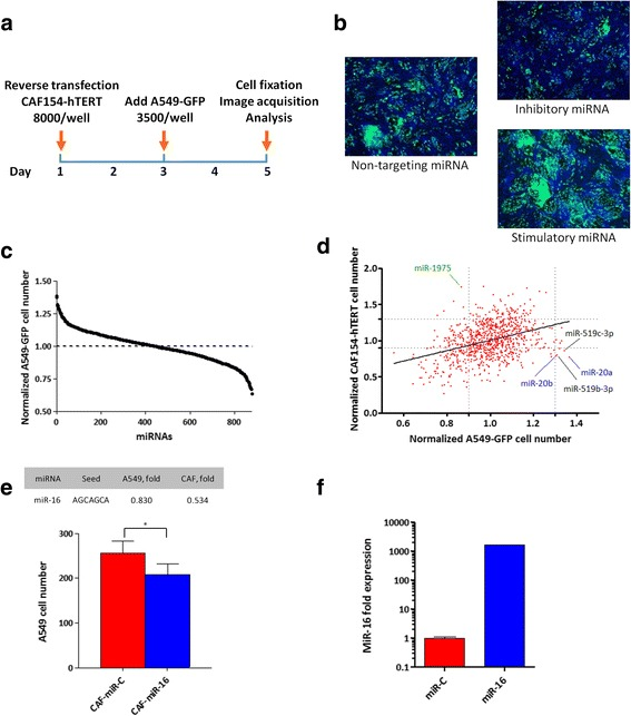 High-throughput screening to identify miRNAs that modulate the pro-tumorigenic potential of cancer-associated fibroblasts. a Schematic of the HTS: 8000 CAFs/well were seeded in 96-well plates and reverse transfected with a library of human miRNA mimics composed of 988 mature miRNAs (875 unique sequences). After 48 h, A549-GFP lung cancer cells were added (3500 cells/well) and further cultured for 48 h. Nuclei were then stained with Hoechst 33342, and automated fluorescence microscopy analysis was performed to quantify the total number of fibroblasts (GFP-negative) and A549 (GFP-positive) cells. Two independent screenings were performed; plates were normalized for the median of the samples of each plate and miRNAs were scored for their capacity to increase or decrease A549 cell growth. b Representative images of the screening showing cells transfected with a miRNA inhibiting the growth of the A549 cells (upper panel), a control miRNA (middle panel), and a miRNA stimulating the proliferation of A549 cells (lower panel). c Summary of the screening results, showing the distribution of A549 cell number after transfection with the miRNA library. d Effect of miRNAs on CAF154-hTERT fibroblasts and co-cultured A549 cell number (Spearman r = 0.35). Not all the miRNAs displayed the same effect on A549 and CAF154-hTERT cells. For example, miR-20a, miR-20b, miR-519b-3p, and miR-519c-3p inhibited the proliferation of CAF154-hTERT cells (