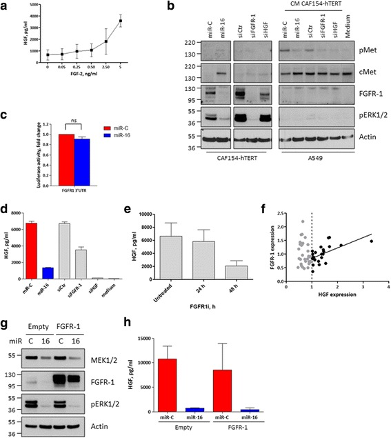The FGFR-1 receptor regulates HGF secretion, and it is targeted by miR-16. a CAF154-hTERT fibroblasts (3 × 10 5 cells/well) were serum-starved for 48 h and then stimulated with increasing doses of FGF-2. CM was collected after 24 h and analyzed by ELISA to evaluate the levels of secreted HGF. b CAF154-hTERT fibroblasts were transfected with the non-targeting miR-C, miR-16, a control siRNA, or a siRNA targeting FGFR-1 or HGF. After 72 h, the CM was collected and, together with a non-conditioned medium, used to stimulate the A549 cells. Western blot was performed on transfected CAF154-hTERT fibroblasts and on stimulated A549 cells to detect the activated state of cMet and its total levels, the levels of FGFR-1, and the activated form of ERK1/2. Actin is shown as a loading control. c Luciferase assay performed as in Fig. 2 e, by using 293 T cells transfected with the pMirTarget FGFR-1 3′UTR and a Renilla -expressing plasmid. The FGFR-1 3′UTR displays two putative miR-16 binding sites (Additional file 3 : Figure S3). d Levels of HGF in CM of CAF154-hTERT fibroblasts transfected with the control miR-C and miR-16 or a control siRNA and siRNA specific for FGFR-1 or HGF. Non-conditioned medium is shown as a negative control. e CAF154-hTERT fibroblasts were treated with 10 μM FGFR-1 inhibitor SU5402 and CM collected at the indicated times to evaluate HGF concentration by ELISA. The graph is representative of two independent experiments. f Correlation between the expression of HGF and FGFR-1 in primary fibroblasts derived from lung cancer patients and expressing high levels of HGF ( R 2 = 0.3607, slope = 0.3797 ± 0.1054). g CAF154-hTERT fibroblasts were transduced with lentiviral particles to stably express FGFR-1 and transfected with control miR-C and miR-16. Western blot was performed 72 h after transfection to detect MEK1/2 and FGFR-1 levels and the activated form of ERK1/2. Actin is shown as a loading control. h ELISA performed to evaluate the levels of HGF in the CM of c