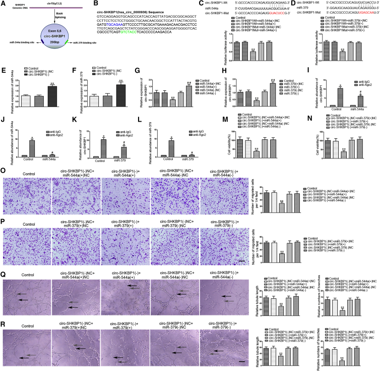 miR-544a/miR-379 Functional Targeted circ-SHKBP1 (A) Cartoon of circ-SHKBP1 arose from SHKBP1 gene by scanning SHKBP1 genomic DNA and circBase (blue, miR-544a binging site; green, miR-379 binging site). (B) The spliced sequence and putative binging site of circ-SHKBP1 (hsa_circ_0000936) are shown with the help of starBase v2.0 (blue, the putative binging site and sequences of miR-544a; green, the putative binging site and sequences of miR-379). (C and D) The putative binding sites between circ-SHKBP1 and miR-544 (C) and miR-379 (D) were predicted, and the relative luciferase activity was expressed as firefly/Renilla luciferase activity. Values are means ± SD (n = 5, each group). **p