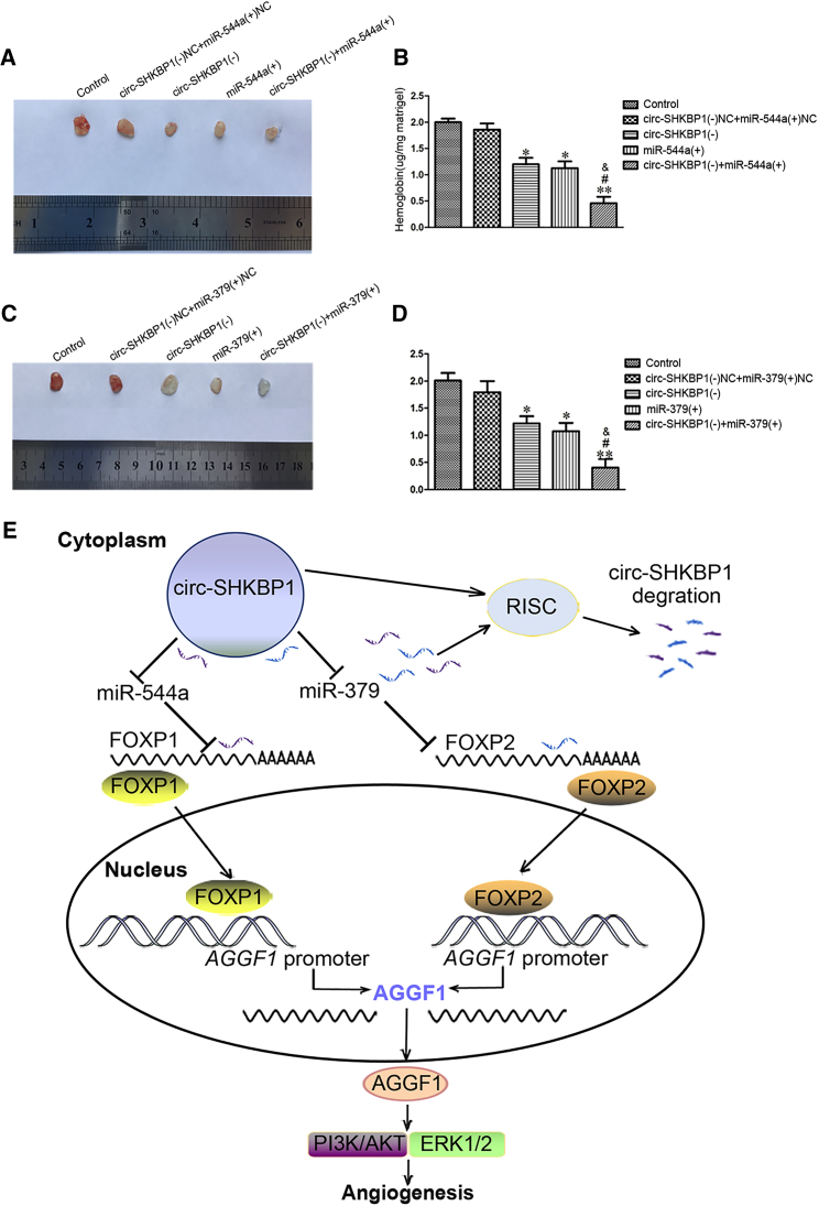 circ-SHKBP1 Knockdown Combined with miR-544a/miR-379 Overexpression Suppressed Angiogenesis In Vivo (A) The co-effect of circ-SHKBP1 and miR-544a on the angiogenesis in vivo was evaluated by Matrigel plug assay. (B) The amount of hemoglobin was measured after combination of circ-SHKBP1 and miR-544a. Data represent the means ± SD (n = 5, each group). *p