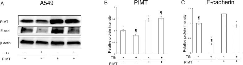 Supplemental expression of PIMT reduces EMT and cell invasion in A549 cells induced by <t>Thapsigargin</t> ( A ) Immunoblotting of PIMT and E-cadherin in A549 cells treated with 0.1 µM of Tg, and PIMT expression and empty vectors. ( B, C ) Intensity of PIMT and E-cadherin in A549 cells treated with Tg, and PIMT expression and empty vectors. * indicates p