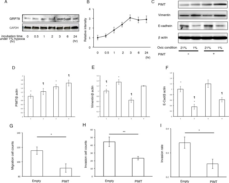 Supplemental expression of PIMT reduces EMT and cancer invasion in A549 cells induced by hypoxic conditions ( A, B ) Immunoblotting and relative intensity of GRP78 in A549 cells under normal hypoxic (1% O 2 ) conditions. ( C ) Immunoblotting of PIMT, vimentin, and E-cadherin in A549 cells under normal (21% O 2 ) and hypoxic (1% O 2 ) conditions treated with and without PIMT vector. ( D–F ) Intensity of PIMT, vimentin, and E-cadherin in A549 cells treated with and without PIMT vector. Line 1: normoxia + empty vector, Line 2: hypoxia + empty vector, Line 3: normoxia + PIMT vector, Line 4: hypoxia + PIMT vector. ( G ) Migration cell count, ( H ) Invasion cell count, and ( I ) Invasion rate in A549 cells under hypoxic conditions with empty and PIMT vector. * indicates p