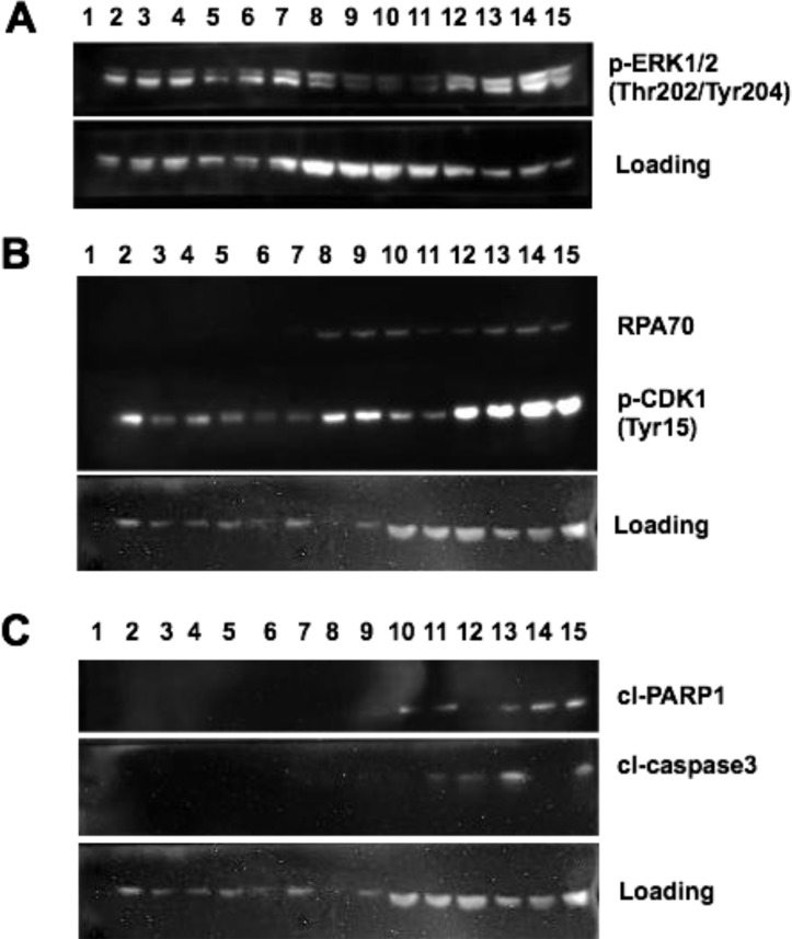 MAPK activation and DNA damage checkpoint induction following MTX + dabrafenib combination treatments ( A ) Western blot of p-ERK1/2 (Thr202/Tyr204) expression in differentially treated SK-MEL-28 and SK-MEL-28VR1 cells. β-actin used as loading control. 30 µg of protein loaded in each lane. ( B ) Western blot of RPA70 and p-CDK1 (Tyr15) expression in differentially treated SK-MEL-28 and SK-MEL28VR1 cells. β-actin used as loading control. 30 µg of protein loaded in each lane. ( C ) Western of cleaved PARP1 and cleaved caspase 3 expression in differentially treated SK-MEL-28 and SK-MEL-28VR1 cells. β-actin used as loading control. 30 µg of protein loaded in each lane.