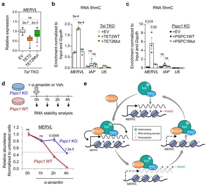 PSPC1 and TET2 silence MERVL transcriptionally and post-transcriptionally a , MERVL expression in Tet1/2/3 triple knock-out ( Tet TKO) ESCs rescued with an empty vector (+EV), a wild-type (+TET2WT), or a catalytic mutant (+TET2Mut) TET2. Center line, median; box and whisker plots: ± 10th–90th percentile range. Data are from 5 independent experiments (n=14 total technical replicates for each rescue). Two-tailed Student's t -test was applied. ns, not significant. b–c , MERVL and IAP enrichment, compared to U6 negative control, among anti-5hmC immunoprecipitated RNAs in Tet TKO (b) and Pspc1 KO (c) ESCs rescued with an empty vector (+EV), a wild-type, or a mutant TET2/PSPC1. Data are presented as mean ± s.e.m. (n=3 independent experiments). Two-tailed Student's t -test was applied. ns, not significant. d , (Top) Schematic of the protocol used for inhibition of transcription with α-Amanitin for RNA stability assay. (Bottom) Relative abundance of MERVL RNA in Pspc1 WT an d KO ESCs after transcriptional inhibition for 1, 2, or 4 hours with α-Amanitin. Data are normalized to untreated cells at time 0 h (Vehicle without treatment). Error bars indicate s.e.m. (n=3). Two-tailed Student's t -test was applied. ns, not significant. e , A model of MERVL regulation by PSPC1/TET2 and HDAC1/2 in ESCs. PSPC1 binding to actively transcribed MERVL RNAs recruits TET2 and HDAC1/2 to chromatin. TET2 catalyzes 5hmC modification of MERVL RNAs resulting in their destabilization, and HDAC1/2 deacetylate histones at the chromatin level leading to transcriptional repression of the MERVL loci. Transcriptional and posttranscriptional repression of MERVL leads to the release of the PSPC1-TET2-HDAC1/2 complex from chromatin. Sporadic reactivation of MERVL expression, well-recognized in conventionally cultured ESCs 10 , via a yet-to-be defined mechanism, leads to the recruitment PSPC1-TET2-HDAC1/2 for transcriptional and posttranscriptional control of MERVL and coordinated gene expression. Illustrat