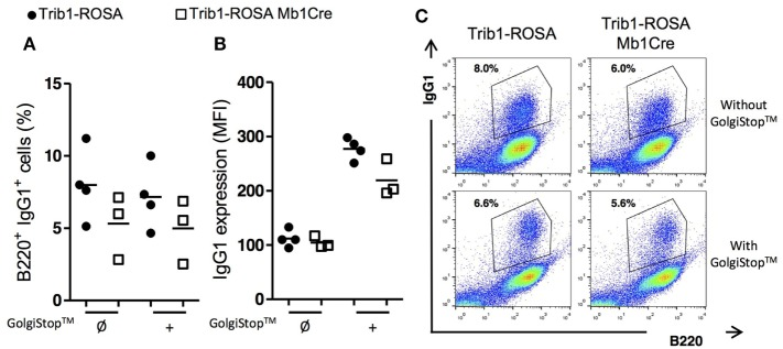 """Trib1 overexpression in B cells induces a reduction in the production of secreted form of IgG1. Total splenocytes from Trib1-ROSA and Trib1-ROSA Mb1Cre mice were stimulated with LPS/IL-4 for 72 h in vitro [with (+) or without (Ø) the addition of a protein transport inhibitor """"GolgiStop™"""" for the last 8 h of culture], then stained for intracytoplasmic IgG1 after a step of membrane Ig blocking using an anti-murine IgG antibody, a step of fixation and permeabilization, and finally were analyzed by flow cytometry. (A) Percentage of B220 + B cells stained for intracellular IgG1. (B) MFI of intracellular IgG1 staining on B220 + B cells. (C) A representative sample of each condition is shown. Each dot represents the result for one animal."""