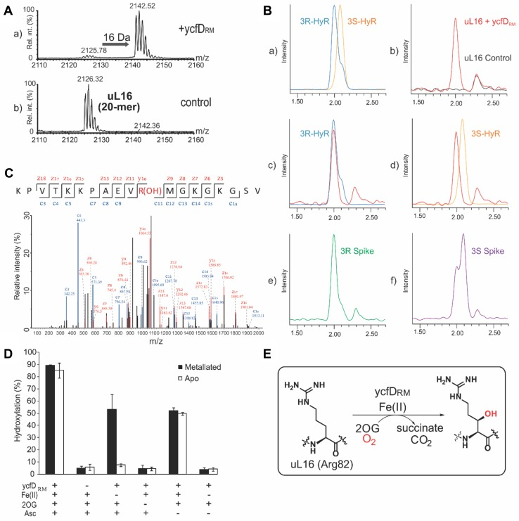 YcfD RM is a 2-oxoglutarate-dependent oxygenase. a MALDI–MS spectrum of ycfD RM -dependent hydroxylation of R. marinus uL16 RM fragment (KPVTKKPAEVRMGKGKGSVE). A 16 Da mass shift is consistent with a ycfD RM -dependent oxidative modification. b Amino acid analysis reveals (2 S , 3 R )-hydroxylation of R82. Extracted ion chromatograms ( m / z = 345) from LC–MS analysis of: a synthetic (2 S , 3 S )- and (2 S , 3 R )-3-hydroxy-arginine standards, b – d amino acid hydrolysates from ycfD RM -hydroxylated uL16 RM peptide fragment(red trace) overlaid with hydrolysates from a control peptide (black trace, b ), (2 S , 3 R )-hydroxy-arginine standard (blue trace, c ) or (2 S , 3 S )-hydroxy-arginine standard (yellow trace, d ); e – f amino acid hydrolysates from ycfD RM -hydroxylated uL16 RM spiked with either (2 S , 3 R )-hydroxy-arginine ( e ) or (2 S , 3 S )-hydroxy-arginine ( f ) standards. c MS/MS studies on uL16 RM fragment peptide (KPVTKKPAEVRMGKGKGSVE-NH 2 ) incubated with ycfD RM and co-factors/co-substrates (Fe(II), 2OG and ascorbate) revealed hydroxylation at R82. d Co-factor dependence of ycfD RM :ycfD RM (1 μM) was incubated in a reaction mixture from which co-factors and co-substrates (Fe(II), 2OG and ascorbate at 100 μM, 200 μM and 1 mM, respectively), were systematically removed. Apo- and metallated forms of ycfD RM were tested. The reaction was carried out in 50 mM HEPES (pH 7.5) at 65 °C in triplicates. The mean value is shown, with error bars representing standard deviation. e Reaction scheme of ycfD RM -catalysed (2 S , 3 R )-arginine-3-hydroxylation
