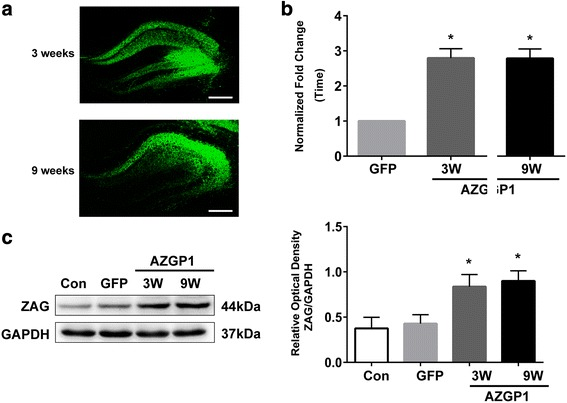 Expression of GFP and AZGP 1 after injection of AAV vectors. a Fluorescent images showing GFP expression in the hippocampus of rats 3 and 9 weeks after AAV injection. The scale bar = 500 μm. b qrt-PCR showed increased AZGP1 mRNA level in the hippocampus of rats in AAV– AZGP1 group compared to AAV–GFP group 3 and 9 weeks after AAV injection. c Western blots showed increased ZAG protein level in the hippocampus of rats in AAV– AZGP1 group compared to AAV–GFP group 3 and 9 weeks after AAV injection. Optic density was normalized by GAPDH. n = 5 for each group, * p