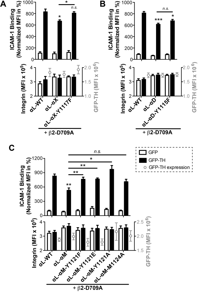 A conserved tyrosine residue within the MD regions of α X , α M , and α D negatively regulates TH-induced integrin activation. ( A–C) TH-induced <t>ICAM-1</t> binding. The relatively conserved tyrosine was mutated to phenylalanine in all α L -chimeras ( A – C ), and to glutamic acid or alanine in the α L -α M chimera ( C ). A conserved methionine was also mutated to alanine in the α L -α M chimera ( C ). Binding of ICAM-1 was measured by flow cytometry with HEK293FT cells co-transfected with the indicated α L constructs plus β 2 -D709A and GFP or GFP-TH. The GFP and integrin double-positive cells were analyzed. Data are presented as the MFI of the ICAM-1 binding normalized to integrin expression and shown as mean ± s.e.m. (n ≥ 3). Two-tailed Student's t-test was performed to compare the α L -chimeras or their mutants to α L -WT under the GFP-TH condition, or as indicated (*P