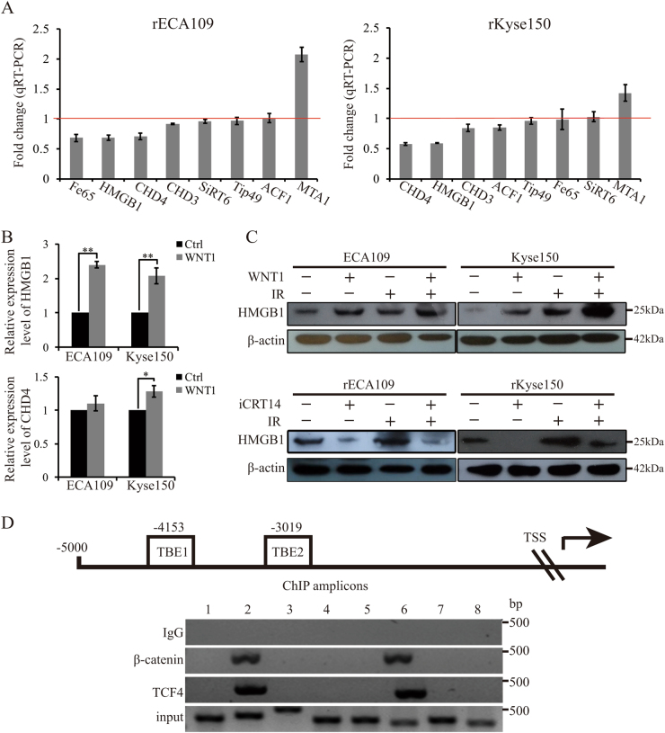 a  qRT-PCR analysis of chromatin modifiers' fold changes after the inhibition of Wnt signaling. rECA109 and rKyse150 cells were treated with iCRT14 (25μM for 24h) and analyzed for expression of chromatin modifiers using qRT-PCR.  b  qRT-PCR analysis of HMGB1 and CHD4. 24h after treatment of WNT1 protein, qRT-PCR was performed to analyze the expression of HMGB1 and CHD4. Mean±SD,  N =3, * P