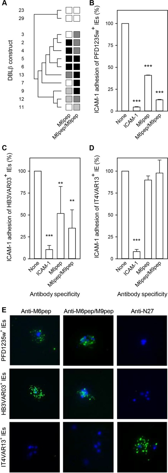 Ability of rat antisera to the ICAM-1-binding motif in DBLβ_motif domains to inhibit binding of recombinant DBLβ domains to ICAM-1. (A) Antisera from rats immunized with M6pep or with both M6pep and M9pep tested against recombinant DBLβ_motif domains (M2 to M7, M9, and M11 to M13) and DBLβ_nonmotif domains (N27 and N33). Shading, DBLβ domain numbers, and antiserum specificities are as described in the legend to Fig. 3B . (B to D) Inhibition by the same antisera of ICAM-1-specific adhesion of PFD1235w-positive IEs (B), HB3VAR03-positive IEs (C), and IT4VAR13-positive IEs (D) under physiologic shear stress. The statistical significance of the reductions is indicated as described in the legend to Fig. 4 . Three independent experiments were done (with three technical replicates in each). Fewer than 0.25 IEs/mm 2 bound to uncoated channels were observed. (E) Immunofluorescence of representative IEs with surface expression of PFD1235w (top row), HB3VAR03 (center row), and IT4VAR13 (bottom row) and labeled by sera from rats immunized with M6pep only (left column) or with both M6pep and M9pep (center column), or by a rat antiserum to N27 (right column). See Table S2 in the supplemental material for raw data.