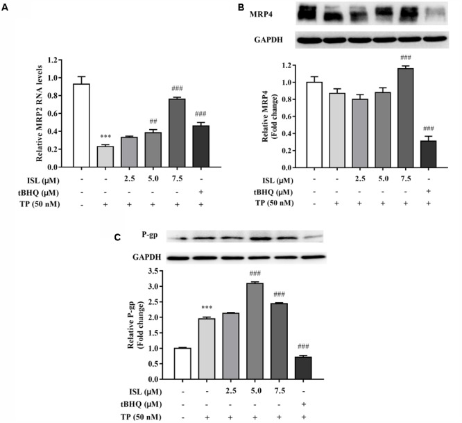 ISL pretreatment induced expressions of (A) MRP2, (B) MRP4, and (C) P-gp to protect against TP-induced cytotoxicity. L02 cells were treated with 50 nM TP with or without 2.5, 5, and 7.5 μM ISL pretreatment. The tert -butylhydroquinone (15 μM) was used as an Nrf2 inducer. RT-PCR was used to analyze mRNAs and proteins by Western blot. Data were presented as means ± SE ( n = 3); ∗∗∗ P