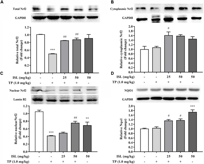 Effects of TP, ISL, or ISL + TP on protein levels of (A) total, (B) cytoplasmic, and (C) nuclear Nrf2 and (D) Nqo1 in mouse livers. Cell lysates were analyzed by Western blot. Data were presented as means ± SE ( n = 5); ∗∗ P