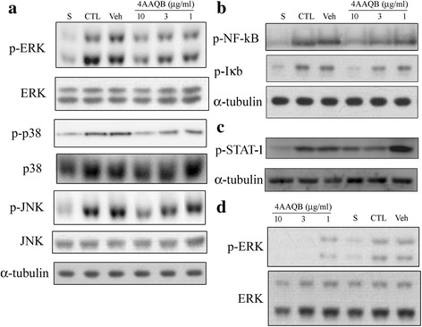 Effects of 4AAQB on the LPS-induced activation of MAP kinases, IkBα, NFκB p65 and STAT1 in RAW 264.7 macrophages and peritoneal macrophages. RAW264.7 cells were treated with various concentration of 4AAQB and stimulated with LPS (100 ng/ml) for 30 min. Cells were harvested and total cell extracts were prepared. a Phosphorylated-ERK, phosphorylated-JNK, phosphorylated-p38, or b Phosphorylated-IκBα and NFκB p65 subunit and c Phosphorylated-STAT1 were detected by Western blot analysis. Total ERK, JNK, p38 and α-tubulin were used as internal standard. d Peritoneal macrophages were treated with various concentration of 4AAQB and stimulated with LPS (100 ng/ml) for 30 min. Phosphorylated-ERK and total ERK were detected by Western blot analysis