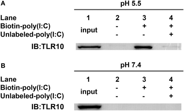 Toll-like receptor (TLR)-10 binds dsRNA in vitro . (A,B) Cell lysates of THP-1 cells were incubated with biotin-poly(I:C) (5 ng/ml) at (A) pH 5.5 or (B) pH 7.4, with or without addition of competitive unlabeled poly(I:C) (50 ng/ml) for 1 h. Complexes were pulled-down using streptavidin beads and analyzed by Western blotting using anti-TLR10 antibody. Data shown are representative of at least three independent experiments.