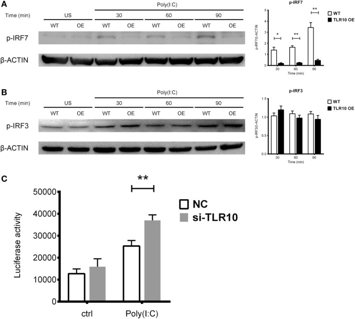 Toll-like receptor (TLR)-10 stimulated by dsRNA regulates type I IFN responses through phosphorylation of interferon regulatory factor (IRF)-7. (A,B) Phosphorylation level of (A) IRF7 and (B) IRF3 in wild-type (WT) and TLR10 overexpressed (OE) THP-1 cells upon stimulation by 10 µg/ml poly(I:C) at different time points post-challenge was analyzed by Western blotting with anti-phospho-IRF7 (Ser477) and anti-phospho-IRF3 (Ser396) antibodies, respectively. A representative blot (left) and mean (with SEM, right) from three independent experiments are shown. (C) Augmented type I IFN signaling in TLR10 knockdown THP-1 cells through an IRF-inducible luciferase reporter. Luciferase activity measured in THP-1 reporter cells upon transfection with 10 µg/ml poly(I:C) in TLR10 small interfering RNA (siRNA) (si-TLR10) or a non-targeting control siRNA (NC) treated THP-1 cells. Data are mean with SEM from at least three independent experiments. * p
