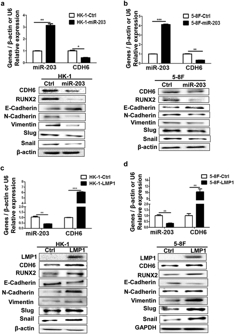 The miR-203 inhibits CDH6-induced EMT and LMP1 promotes EMT in NPC cells a , b The effect of miR-203 overexpression on the expression of CDH6, RUNX2 and EMT markers in NPC cells. The 5-8F and HK-1 were transfected with pMIR-GFP-miR-203 or pMIR-GFP-NC, respectively, at 36 h post-transfection, proteins and RNA were collected and used for the detections by western blotting or qPCR, respectively. Ctrl, the empty vector (pMIR-GFP-NC); miR-203, the overexpression of miR-203 (pMIR-GFP-miR-203). Results are means ± SD; n = 3. * p