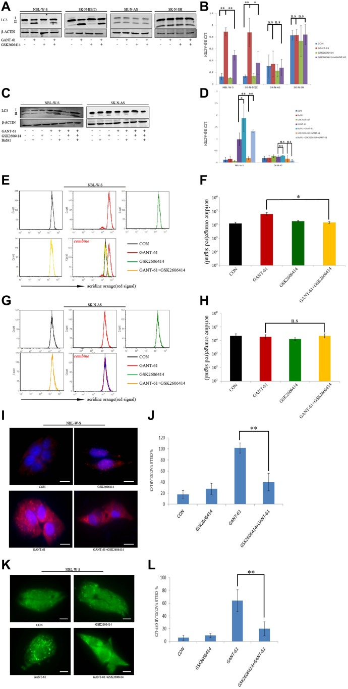 GSK2606414 inhibits GANT-61 induced cell autophagy in MYCN amplified NB cells ( A ) Assessment of LC3 conversion by LC3 immunoblotting. Membranes were reprobed with β-actin antibody. Four cell treatments CON (non-treatment), GANT-61 (10 μM GANT-61 treatment 48 h), GSK2606414(0.5 μM GSK2606414 treatment 3 h), GSK2606414+GANT-61 (0.5 μM GSK2606414 pretreatment 3 h with 10 μM GANT-61 treatment 48 h) were tested in NBL-W-S and SK-N-AS cells ( B ) The LC3-II/β-ACTIN ratio was plotted as histogram (mean ± SD), * P