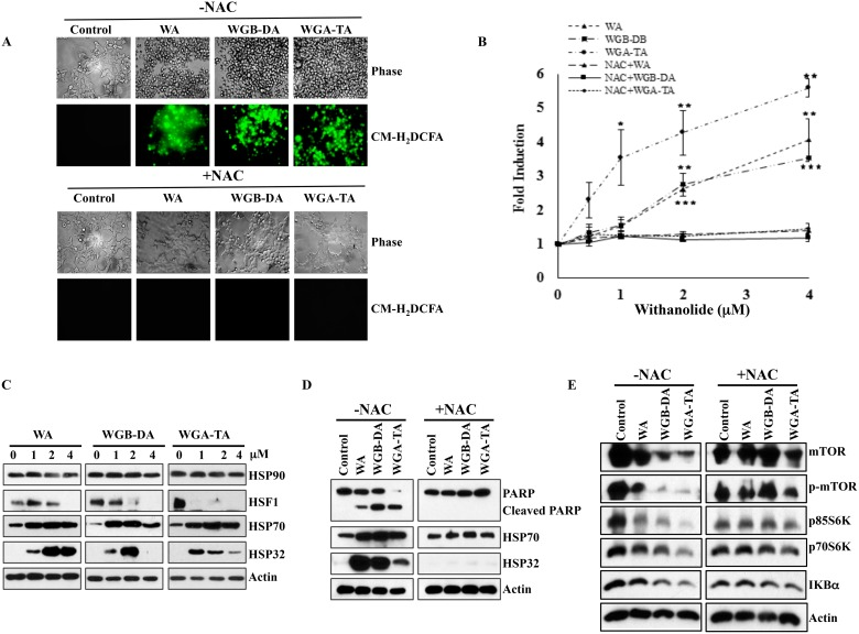 Withanolides induce cellular stress response in NB cells IMR 32 cells were preloaded with ROS indicator CM-H 2 DCFDA prior to withanolides exposure and alteration in oxidation potential was measured. ( A and B ) Fluorescent intensity measurement revelaed the induction of ROS after 4 h of treatment in a dose dependent manner and complete blocking of this effect by 5 mM NAC co-treatment. Immunoblot analysis of the stress response, heat shock proteins demonstrated increased expression levels of HSP32 and HSP70, and decreased expression of HSF1 after 24 h of treatment with increasing concentrations of withanolides. When the cells were pre-treated with NAC, cleavage of PARP that is an indicator of <t>apoptosis</t> was blocked and the increase in the expression levels of the heat shock proteins HSP32 and HSP70 as well as decrease in expression levels of mTOR pathway proteins and Iκ-Bα are blocked after NAC treatment, indicating attenuation of the anti-proliferative properties of withanolides by NAC ( C – E ).