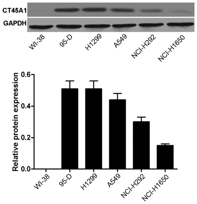 <t>CT45A1</t> levels in WI-38 normal lung cells and the lung cancer cell lines, 95-D, H1299, A549, NCI-H292 and NCI-H1650. The levels were determined by western blotting. CT45A1, cancer-testis antigen family 45 member A1.