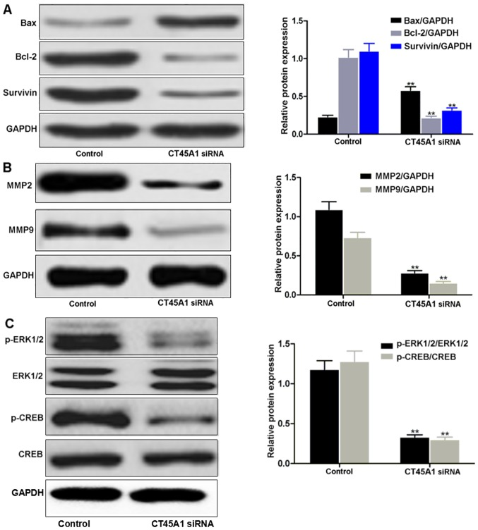 Western blotting analysis of (A) Bax, Bcl-2 and survivin, (B) MMP2 and MMP9 and (C) ERK/CREB in A549 cells transfected with CT45A1 siRNA and negative control. **P