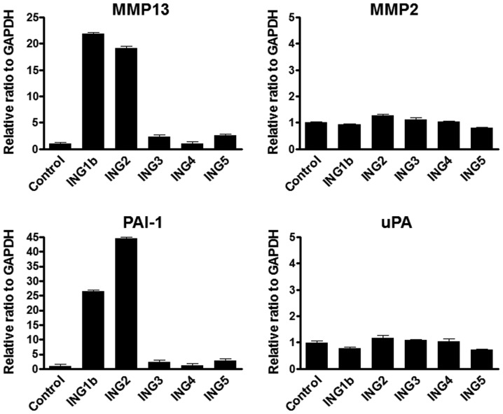 MMP13 and PAI-1 mRNA was upregulated under overexpressing ING1b and 2. (A) Results of real-time RT-PCR analyses of mRNA levels of MMP13 and <t>MMP2</t> mRNA in ING1b, 2, 3, 4 or 5 overexpressed HEK293 cells. Each ING gene (pcDNA3.1 vector 8 µg) was transfected into HEK293 cells using the Lipofectamine ® 2000 following manufacturer's protocol. Empty vector (8 µg) was used for a control. Cells were harvested at 48 h post-transfection. GAPDH mRNA level was used as the internal control. Columns, average of three independent experiments; Bars, SD. (B) Real-time RT-PCR was performed for detecting PAI-1 and uPA mRNA transcripts using the same samples as above. PAI-1 and uPA mRNA levels were normalized by GAPHD mRNA transcripts. Columns, average of three independent experiments; Bars, SD. MMP, matrix metalloproteinase; PAI-1, plasminogen activator inhibitor-1; ING, inhibitor of growth.