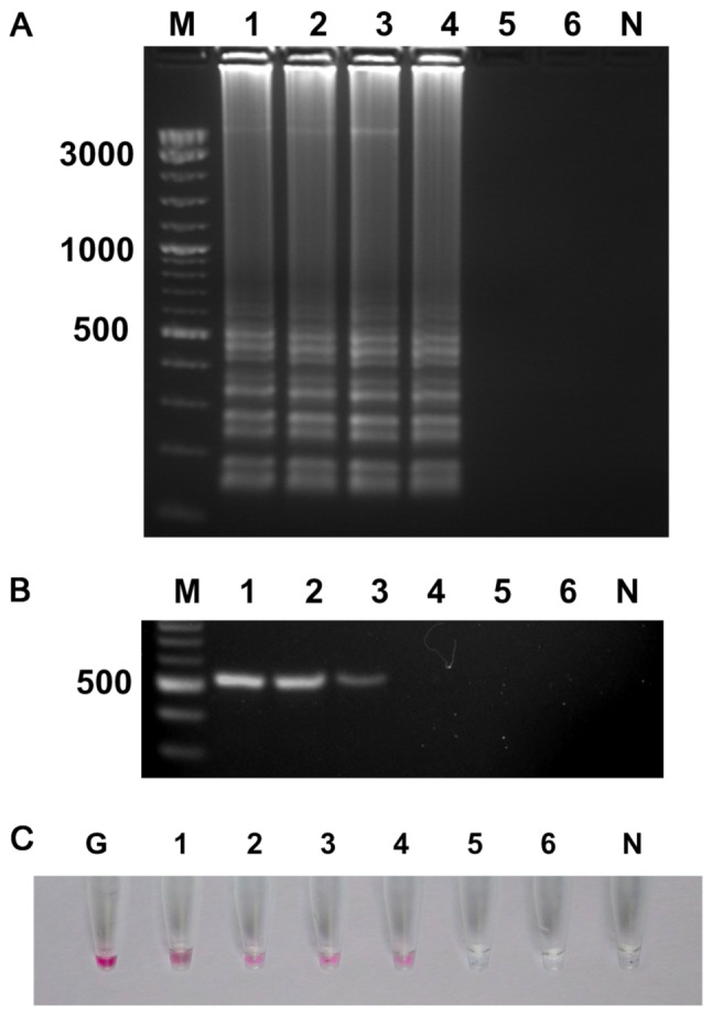 Sensitivity testing for P. aeruginosa pure culture detection by (A) UDG-LAMP, (B) polymerase chain reaction and (C) UDG-LAMP-AuNP. Lanes 1–6 represent the 10-fold serial dilution of P. aeruginosa from 1.6×10 6 CFU ml −1 to 1.6×10 1 CFU ml −1 . Lane M, molecular weight DNA marker; lane N, negative control; lane G, gold nanoparticle probe only; P. aeruginosa, Pseudomonas aeruginosa ; CFU, colony-forming units; UDG, uracil-DNA-glycosylase; LAMP, loop-mediated isothermal amplification; AuNPs, gold nanoparticles.
