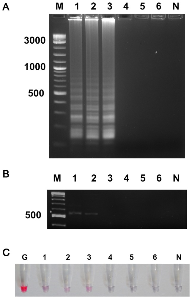 Sensitivity testing for P. aeruginosa detection in contact lens samples by (A) UDG-LAMP, (B) polymerase chain reaction and (C) UDG-LAMP-AuNP. Lanes 1–6 represent the 10-fold serial dilution of P. aeruginosa from 1.1×10 5 CFU ml −1 to 1.1 CFU ml −1 . Lane M, molecular weight DNA marker; lane N, negative control; lane G, gold nanoparticle probe only; P. aeruginosa, Pseudomonas aeruginosa ; CFU, colony-forming units; UDG, uracil-DNA-glycosylase; LAMP, loop-mediated isothermal amplification; AuNPs, gold nanoparticles.