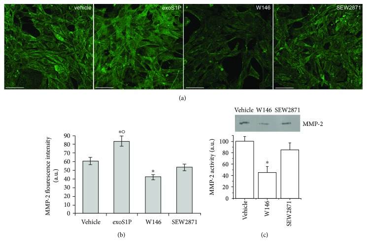 MMP-2 expression and activity. BM-MSCs were cultured for 48 h in the absence (vehicle) or in presence of 1 μ M exogenous sphingosine-1-phosphate (exoS1P) or 2 μ M S1PR1 receptor antagonist, W146, or 2 μ M S1PR1 receptor agonist, SEW2871. (a) Representative immunofluorescence confocal images of fixed cells on glass coverslips immunostained with antibodies against MMP-2 (green). Scale bar 50 μ m. The images are representative of at least three independent experiments with similar results. (b) Densitometric analysis of the intensity of the MMP-2 fluorescence signal performed on digitized images. (c) Zymography. A representative gelatin zymography of MMP-2 from conditioned media obtained from BM-MSCs incubated in absence (vehicle) or in presence of W146 or SEW2871 for 48 h. Densitometry scanning from at least three separate experiments was performed and data, expressed as relative OD values (a.u.) to those of control group (vehicle) set to 100, are reported in the histogram. Data are mean ± S.E.M. Significance of difference in (b) (one-way ANOVA and Newman-Keuls multiple comparison tests), ∗ p