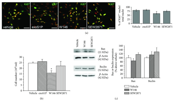 Cell proliferation and toxicity. BM-MSCs were incubated in growth medium for 24 h in absence (vehicle) or in presence of 1 μ M exogenous <t>sphingosine-1-phosphate</t> (exoS1P), 2 μ M S1PR1 receptor antagonist, W146, or 2 μ M S1PR1 receptor agonist, SEW2871. (a) Representative confocal immunofluorescence images of Ki67 expression. BM-MSCs were immunostained with the specific antibody Ki67 (green), a nuclear proliferation marker, and counterstained with propidium iodide (PI; red). Yellow colour indicates colocalization of red and green fluorescence signals. Scale bar 50 μ m. The images are representative of at least three independent experiments with similar results. Histogram represents quantitative analysis of Ki67 positive BM-MSC cell nuclei expressed as percentage of the total nuclei number. Data are mean ± S.E.M. (b) Cell proliferation analysis by cell counting. Synchronized BM-MSCs were collected and counted as reported in Section 2 . Data are mean ± S.E.M. of four independent experiments performed in quadruplicate. (c) Western blotting analysis of apoptotic (Bax) and autophagic (Beclin) markers. Cell lysates (10–25 μ g) obtained from BM-MSCs were loaded onto SDS-PAGE and proteins immunodetected by specific antibodies. β -Actin was used as loading control. Blot shown is representative of at least three independent experiments with similar results. Data resulting from densitometric analysis of at least three independent experiments are shown in the graph (mean ± S.E.M.). Significance of differences in (a) and (b) (one-way ANOVA and Newman-Keuls multiple comparison test): ∗ p