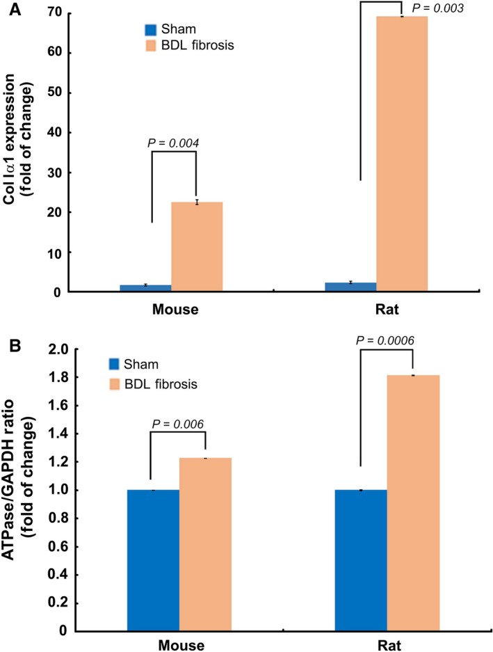 Fibrogenic, active HSCs demonstrate higher bioenergetic ratio than the less‐active HSCs ex vivo . A , TaqMan qPCR quantification of ColIα1 expression verified the fibrogenic phenotype of HSCs ex vivo , from the mouse and rat models of BDL fibrosis. B , TaqMan qPCR data showing increased bioenergetic ratio of fibrogenic HSCs ex vivo , from the mouse and rat models of BDL fibrosis. Data represent Mean ± S.E. ( n = 3).